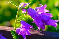 Bello fiore del giardino - natura viola fotografie stock