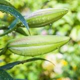 Bello fiore del giglio Fotografia Stock Libera da Diritti
