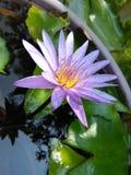 Bello fiore del giglio delle foto naturali dello Sri Lanka Immagini Stock
