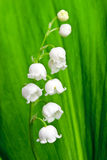 Bello fiore del lily-of-the-valley Fotografia Stock