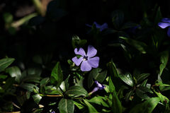 Bello fiore del minore della vinca Immagini Stock Libere da Diritti