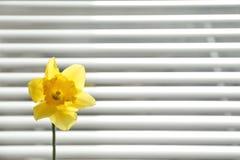 Bello fiore del narciso vicino ai ciechi di finestra fotografia stock