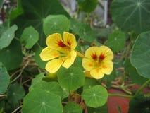 bello fiore del nasturzio della pianta di giardino con i petali e le foglie verdi gialli fotografie stock