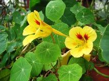bello fiore del nasturzio della pianta di giardino con i petali e le foglie verdi gialli immagini stock