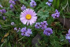 Bello fiore del Pamirs nordico fotografia stock