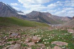 Bello fiore del Pamirs nordico fotografie stock libere da diritti