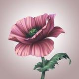 Bello fiore del papavero di rosa di fantasia Fotografie Stock Libere da Diritti