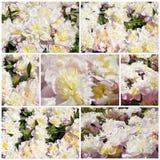 Bello fiore del primo piano delle peonie rosa Fotografia Stock