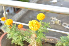 Bello fiore del tagete Immagini Stock Libere da Diritti