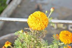 Bello fiore del tagete Fotografie Stock