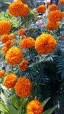 Bello fiore del tagete nel giardino immagini stock