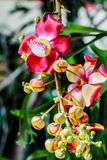 Bello fiore dell'albero della palla di cannone Fotografia Stock Libera da Diritti