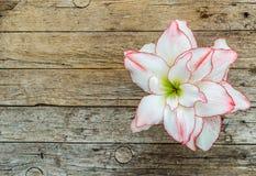 Bello fiore dell'amarillide Fotografie Stock
