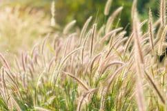Bello fiore dell'erba Fotografia Stock Libera da Diritti