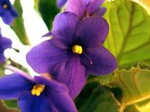 Bello fiore dell'interno viola fotografie stock