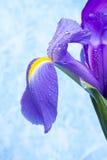 Bello fiore dell'iride immagine stock