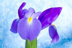 Bello fiore dell'iride fotografia stock libera da diritti