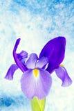 Bello fiore dell'iride immagini stock libere da diritti