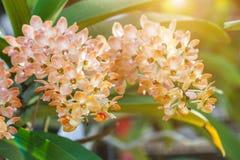 Bello fiore dell'orchidea nel giardino al giorno della primavera o di inverno Immagini Stock