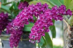 Bello fiore dell'orchidea nel giardino al giorno della primavera o di inverno Fotografie Stock Libere da Diritti