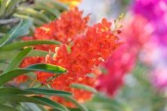 Bello fiore dell'orchidea nel giardino al giorno della primavera o di inverno Immagini Stock Libere da Diritti