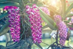 Bello fiore dell'orchidea nel giardino al giorno della primavera o di inverno Fotografia Stock