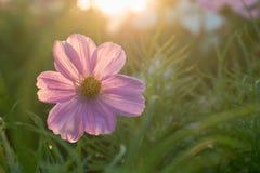 Bello fiore dell'universo in prato con la luce solare fotografie stock