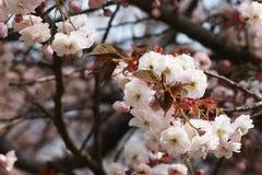 Bello fiore della begonia fotografia stock