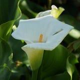 Bello fiore della calla nel giardino immagine stock libera da diritti