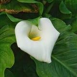 Bello fiore della calla nel giardino fotografie stock libere da diritti