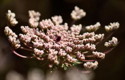 Bello fiore della carota selvatica Immagini Stock Libere da Diritti