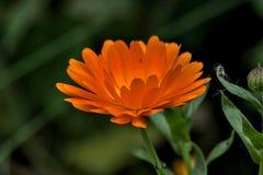 Bello fiore della crema leggera Fotografia Stock Libera da Diritti