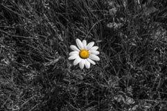 Bello fiore della margherita Fine in su Fotografia Stock