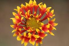 Bello fiore della margherita nel parco Fotografia Stock