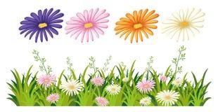 Bello fiore della margherita su fondo bianco royalty illustrazione gratis