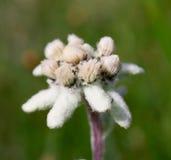 Bello fiore della montagna di Edelweiss Immagine Stock Libera da Diritti