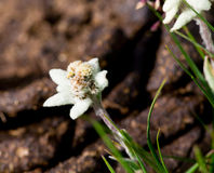 Bello fiore della montagna di Edelweiss Immagine Stock