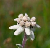 Bello fiore della montagna di Edelweiss Fotografie Stock Libere da Diritti