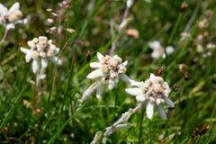 Bello fiore della montagna di Edelweiss Fotografia Stock