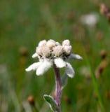 Bello fiore della montagna di Edelweiss Immagini Stock