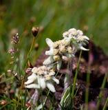 Bello fiore della montagna di Edelweiss Immagini Stock Libere da Diritti