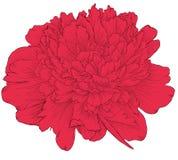 Bello fiore della peonia nei colori d'annata isolato su fondo Immagine Stock
