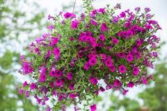 Bello fiore della petunia Fotografie Stock Libere da Diritti