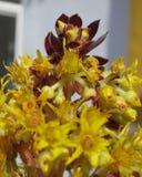 Bello fiore della pianta succulente che sta sviluppandosi nell'area di Costa Blanca, Spagna Fotografia Stock