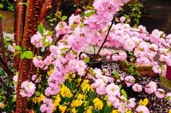 Bello fiore della prugna Fotografia Stock Libera da Diritti