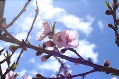 Bello fiore della prugna sotto cielo blu con la nuvola Fotografia Stock Libera da Diritti