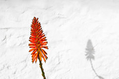 Bello fiore della Vera dell'aloe Fotografie Stock