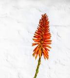 Bello fiore della Vera dell'aloe Immagini Stock