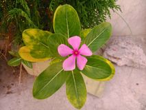 Bello fiore della vinca Fotografie Stock