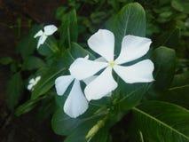 Bello fiore delle foto della Sri Lanka Fotografia Stock